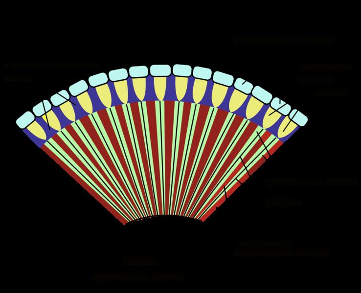 Схема строения омматидиев